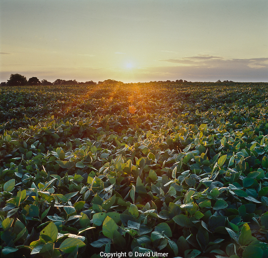 Sunlight rakes the top of canopied soybeans at daybreak.