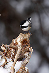 Chickadee, North Cascade Range, Washington