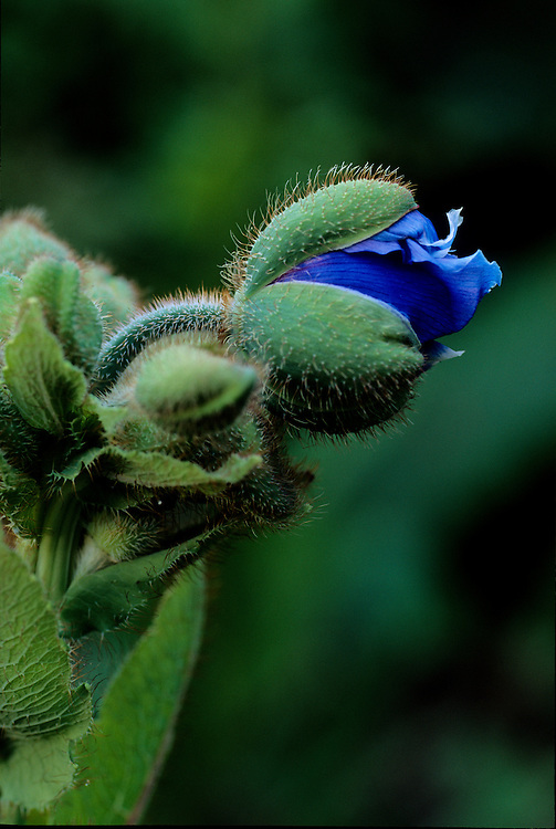 Flower bud of meconopsis betonicifolia popping into bloom with soft bokeh background, Van Dusen Botanical Garden, Vancouver, BC.