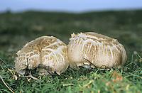 Agaricus bernardii