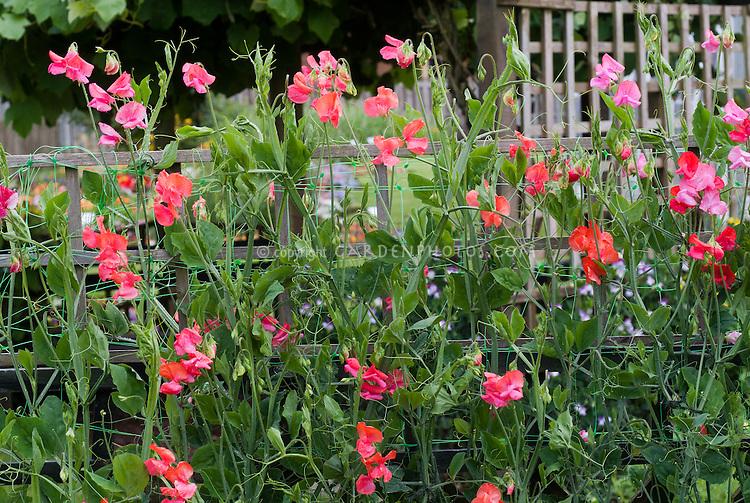 Lathyrus odoratus Sweet pea 'Prince of Orange'