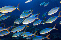 RK0703-D. Bluestriped Chubs (Sectator ocyurus). Galapagos Islands, Ecuador, Pacific Ocean.<br /> Photo Copyright &copy; Brandon Cole. All rights reserved worldwide.  www.brandoncole.com