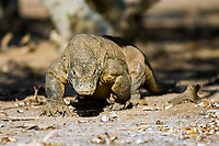 Komodo Dragon (Varanus komodoensis) in Komodo Island, Indonesia, The Komodo Dragon is the world's largest lizard, reaching more than 9ft. in length and weighing more than 190lbs.