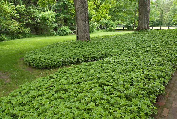 groundcover plants stock photos ground covers  images  plant, Natural flower