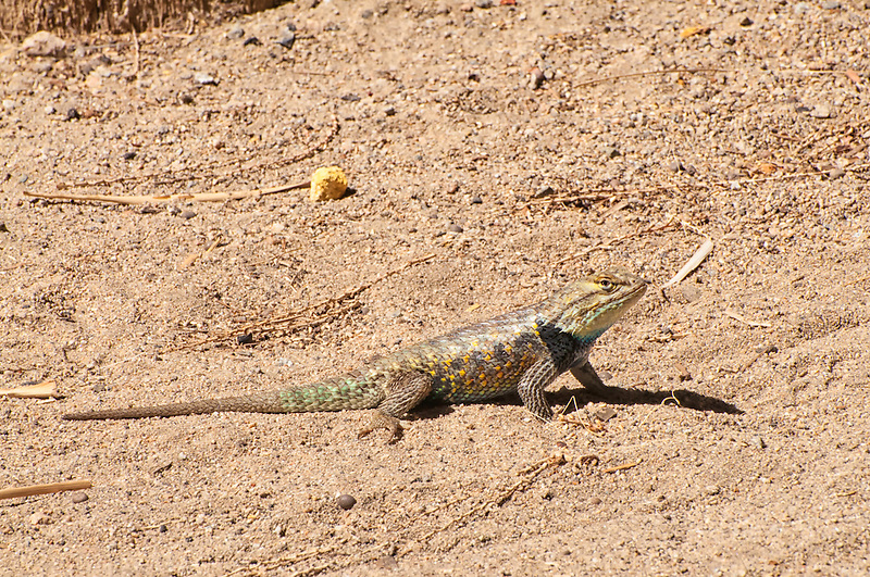 An adult male desert spiny lizard basks in the spring afternoon sun in the desert sand in rural San Bernardino County. This individual had very vivid blues and oranges in the sunlight.