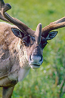 Close up portrait of bull caribou in summer velvet antlers, Denali National Park, Alaska.