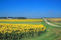 Sunflowers bloom in farmers field, rural landscape in Barnes County near Kathryn, North Dakota, AGPix_0702.