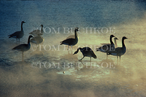 Canada geese - Branta canadensis, rest along the shore of Lake Superior in Michigan's Upper Peninsula during a December sunrise.