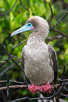 Red Footed Booby holding on to a branch with its webbed feet