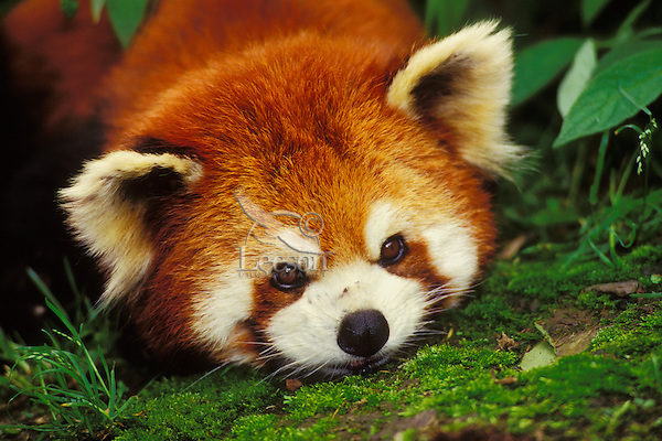 Red Panda or Lesser Panda resting head on moss covered rock.  China.