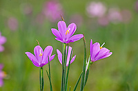 Grass Widow  or blue-eyed grass (Sisyrinchium douglasii) wildflowers, Pacific Northwest. March.  Grass widows are one of the earliest wildflowers to display in the Columbia River Gorge National Scenic Area.
