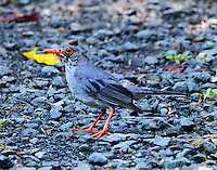 Red-legged thrush with stem