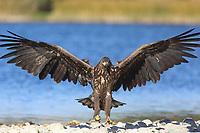 Seeadler, See-Adler, Adler, Haliaeetus albicilla, White-tailed Eagle, eagle of the rain, sea grey eagle, erne, gray eagle, white-tailed sea-eagle, Pygargue à queue blanche