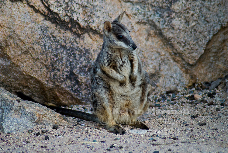 The Allied Rock-wallaby is found in the hinterland of Townsville, and also on Magnetic and Palm Islands. There are few distinguishing features from its close relatives in the field.