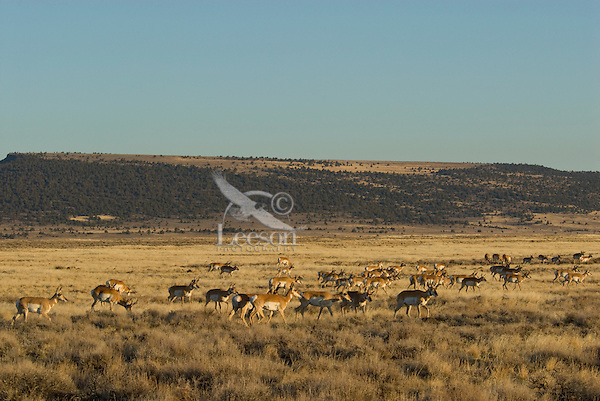 Pronghorn Antelope (Antilocapra americana) near Poker Jim Ridge, Hart Mountain National Antelope Refuge, OR.  Fall.
