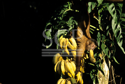 Amazon, Brazil. Monkey taking bananas with one in its mouth, from a hanging bunch; Tataquara, Xingu.