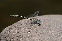 389030031 a wild male gray sanddragon progomphus borealis perches on a large rock in a stream at jewel of the creek conservation area maricopa county arizona