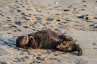 Southern Sea Otter (Enhydra lutris nereis) sleeping on sandy beach.  California.