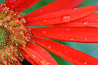 Afternoon storms left behind water droplets on the petals of a brightly colored gerber daisy Wednesday afternoon in Charlottesville, Va.