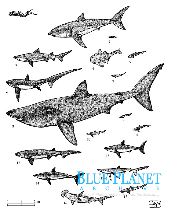 Sharks of the Mediterranean Sea: 1 great white shark, Carcharodon carcharias; 2 velvet belly lanternshark, Etmopterus spinax; 3 smalltooth sand tiger, Odontaspis ferox; 4 common angelshark, Squatina squatina; 5 nursehound, Scyliorhinus stellaris; 6 common thresher, Alopias vulpinus; 7 small-spotted catshark, Scyliorhinus canicula; 8 basking shark, Cetorhinus maximus; 9 small blackmouth catshark, Galeus melastomus; 10 piked dogfish, Squalus acanthias; 11 common smooth-hound, Mustelus mustelus; 12 bluntnose sixgill shark, Hexanchus griseus; 13 porbeagle, Lamna nasus; 14 shortfin mako, Isurus oxyrinchus; 15 blue shark, Prionace glauca; 16 smooth hammerhead, Sphyrna zygaena; 17 tope shark, Galeorhinus galeus, pen and ink illustration.