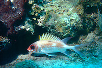 MARINE LIFE: REEFS<br /> Squirrelfish (holocentridae) on reef<br /> Ray-finned fish found in tropical parts of the Indian, Pacific and Atlantic Oceans, with the greatest species diversity near reefs in the Indo-Pacific. Squirrelfish are largely nocturnal and hide among crevices in the reef.