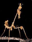 Violin Mantis (Gongylus gongylodes), captive.