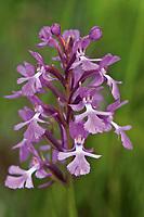 Small purple fringed orchid, Platanthera psycodes; Bruce Peninsula National Park