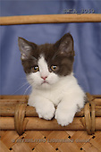 Carl, ANIMALS, photos, blue white kitten(SWLA3059,#A#) Katzen, gatos