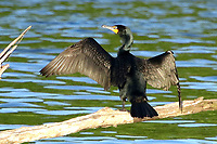 Courtesy photo/PHYLLIS KANE<br /> WINGS OVER THE LAKE<br /> A cormorant spreads its wings on May 16 at Swepco Lake west of Gentry.