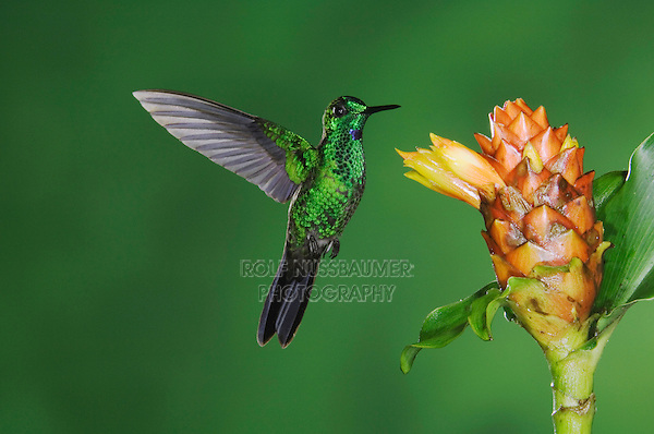 Green-crowned Brilliant, Heliodoxa jacula, male in flight feeding on Spiral Ginger (Costus Pulverulentus), Central Valley, Costa Rica, Central America