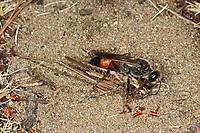 Heuschrecken-Sandwespe, Heuschreckensandwespe, mit erbeuteter Heuschrecke, Sphex funerarius, Sphex rufocinetus, Sphex rufocinctus, Sphex maxillosus, golden digger wasp, le sphex gryllivore, Sphecidae
