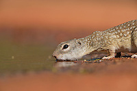 Mexican Ground Squirrel (Spermophilus mexicanus), adult drinking at pond, South Texas, USA