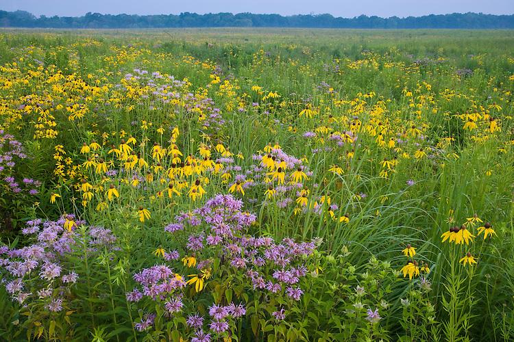 Foggy morning light on a field of Bergamot (Monarda fistulosa) and Yellow Coneflower (Ratibida pinnata) on a prairie; Starved Rock State Park, IL