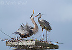 Great Blue Herons (Ardea herodias) pair on artificial nest site, one at left performing (courtship) display, Viera Wetlands, Florida, USA