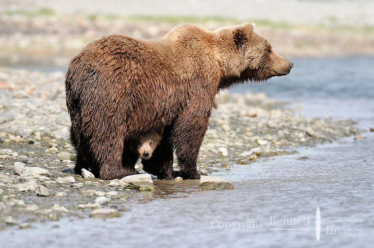 A baby peeks out from underneath its mother at a tidal lagoon in Alaska's McNeil River State Game Sanctuary.