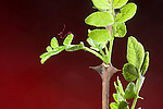 Thorns on Prickly-Ash shrub, Zanthoxylum americanum, Rutaceae