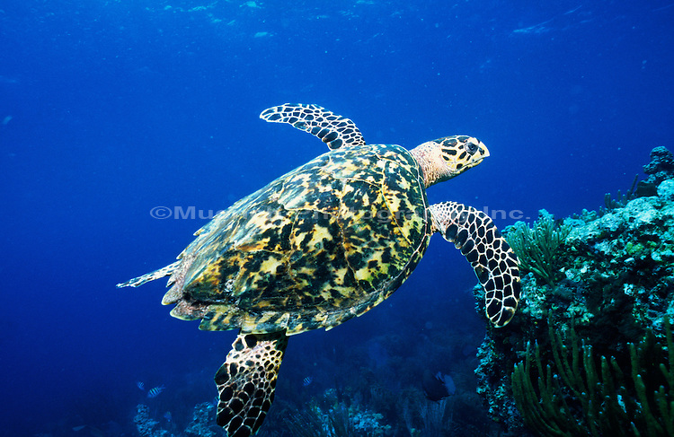 """Sea Turtle, St. John Island Virgin Islands NP  VIRGIN ISLANDS"""