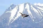 Lammergeier or Bearded Vultures in flight. Ordesa y Monte Perdido national park, Aragon,Pyrenees, Spain.