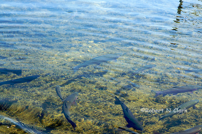 Rainbow Trout at Hot Creek Fish Hatchery