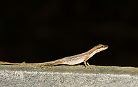 Slender Anole, Anolis limifrons (Norops limifrons), at La Selva Biological Station, Costa Rica