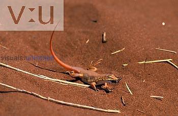 Shovel-Nosed Lizard ,Aporosaura anchieta, eating a fly; predation, Namibia, Africa