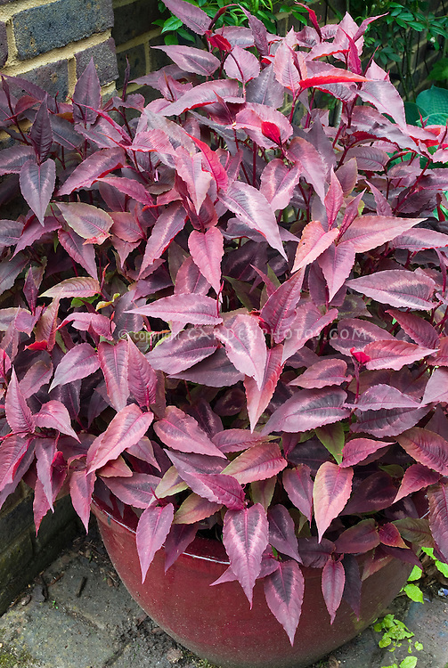 Persicaria microcephala Red Dragon in pot container, purple red foliage
