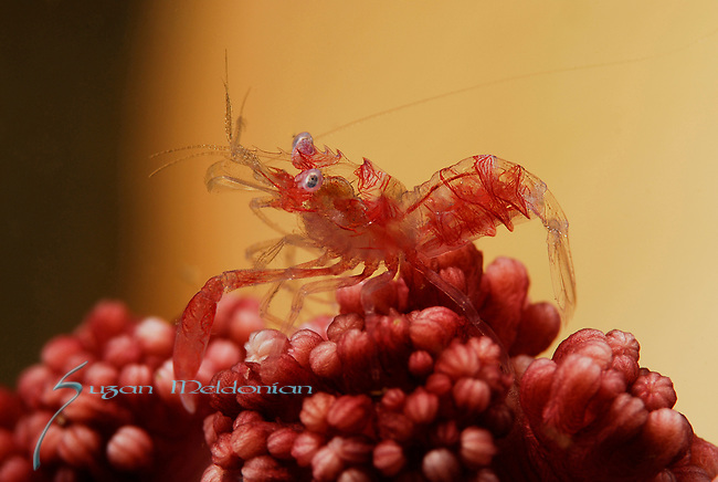 Horned Sea Pen Shrimp, Dasycaris ceratops, Lembeh Straits, Sulawesi Sea, Indonesia,