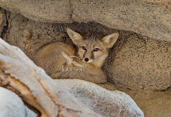 Kit fox (Vulpes macrotis) tucked into cleft of rock.  Small desert fox found primarily in the American desert southwest.  Sonoran Desert, CA.