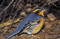 Varied Thrush. (Ixoreus naevis). Pacific Coast. North America.