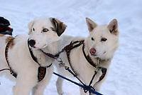 Anna Bondarenko's Dogs at Takotna 2004 Iditarod