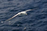 Lone Fulmar Fulmarus glacialis gliding over sea Spitzbergen Arctic Norway
