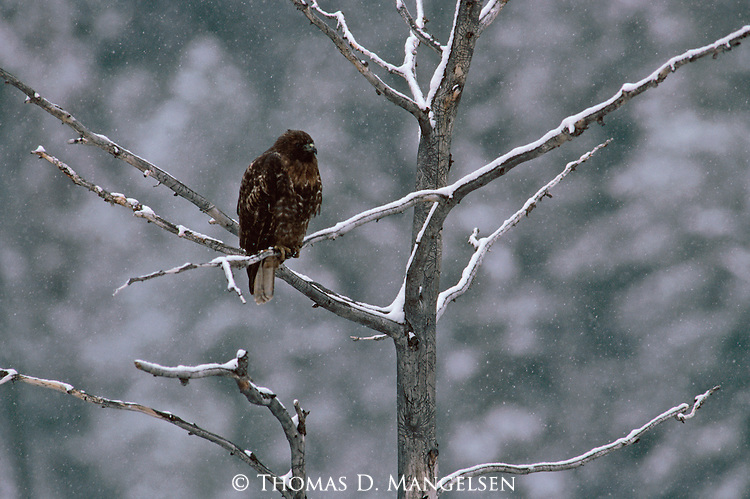 Red-tailed Hawk perched in a tree during a snow storm in Wyoming.