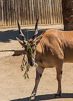 A Common Eland appeared comical but unconcerned by the branch stuck in its horns and dangling down over his face.