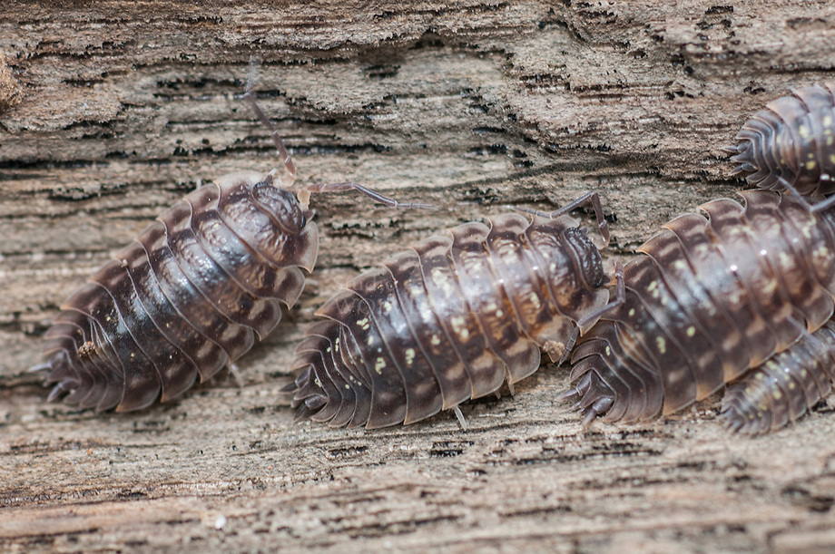 Kelderpissebed, Oniscus asellus